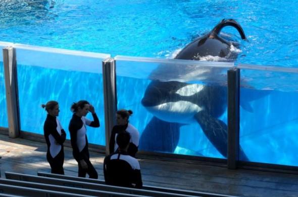 black-fish-orca-590x391-20130823-378